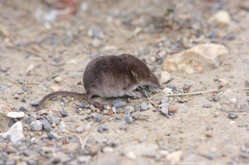 Little Common Shrew