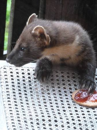 Pine-Marten-Paul-Comerford