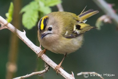 goldcrest-dorian-mason-photographer