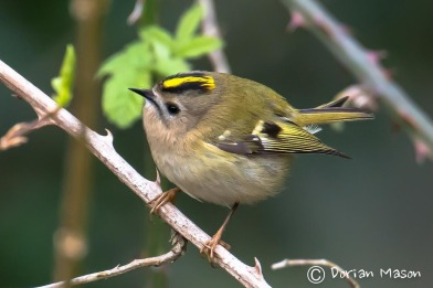 goldcrest-dorian-mason-photography